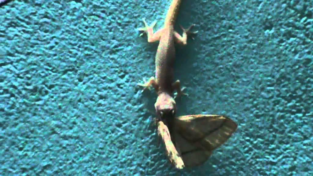 Lizards Eating Cats Lizard Eats Butterfly