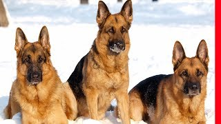 TRAINED AND DISCIPLINED German Shepherd Dog | Extreme German Shepherd-TRICKS-