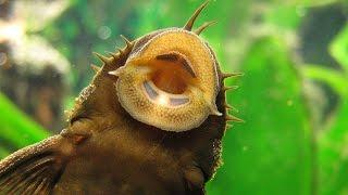 Species Spotlight | Pleco Bottom Feeder Fish