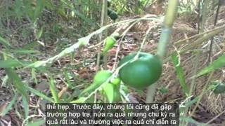 Chuyện lạ Việt Nam 2016 - Tre Mọc Ra Quả Có Phải Là Điềm Báo Trước Hạn Hán?