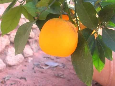 Citrus fruits in the Eden Project's Mediterranean Biome