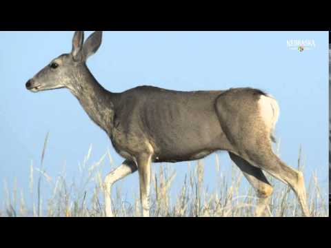 The Nebraska Game and Parks Commission used an aerial approach to studying mule deer and elk in northwestern and north-central Nebraska in February 2015.