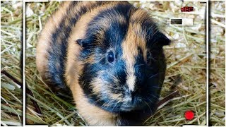 Guinea Pig Night Cam with Lots of Yawning
