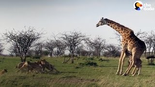 Giraffe Shows Lions Who's Boss When They Mess With Her Baby