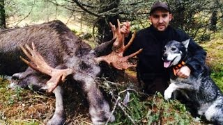 Elgjakt med løshund av Kristoffer Clausen. Hunting moose with dogs.