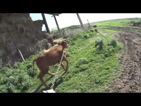 Коров на траву // Цыплят в цыплятник