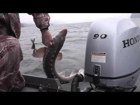 Sturgeon Fishing 2015