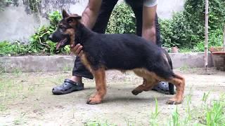 Day 2 of 30 days GSD puppy training challenge