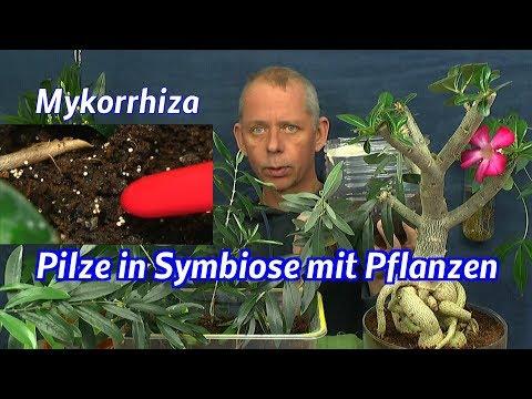 Mykorrhiza Symbiose. Pflanzen wachsen mit Pilzen im Zimmer besser