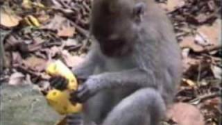 Download 1997 Monkey Attack Bali 3Gp Mp4