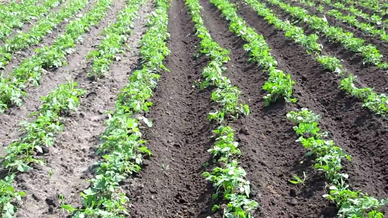 Картошка технология выращивания 87