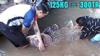 Ngư Dân Bă't Được Cá Hô Vàng Khủng 125Kg Bán Được Hơn 300 Triệu Đồng