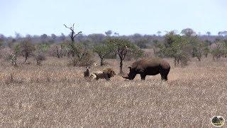 Rhino vs Lion - Who Is The Boss?