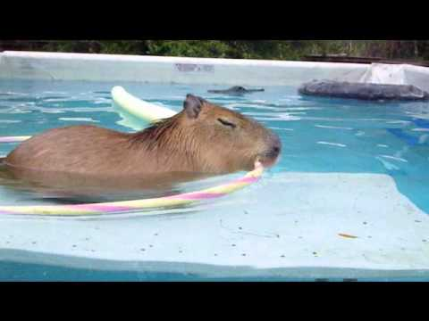 Capybara swimming