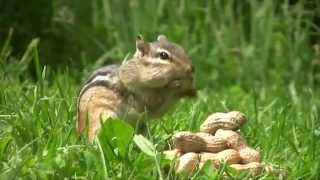 Chipmunks Eating Peanuts
