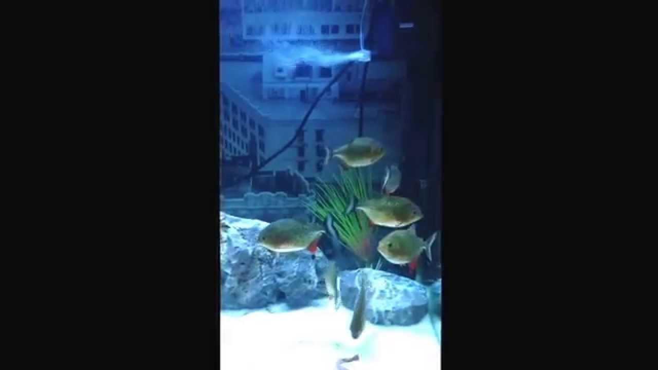 Piranha Fish Tank Piranha Fish Tank Aquarium