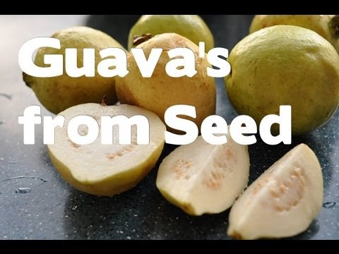 Guava Trees from Seeds and Um... stuff /Growing Guava's indoors and greenhouse