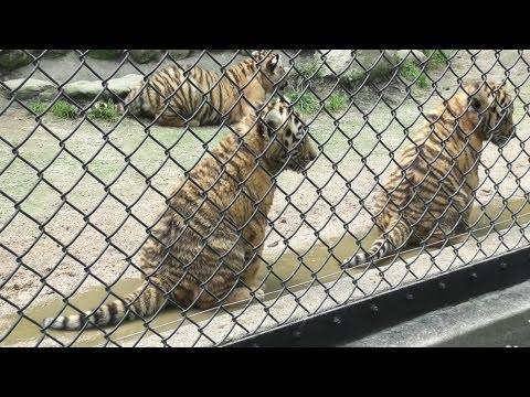 並んでおしっこするアムールトラの赤ちゃん 安佐動物公園(4/4) 2011.6.8