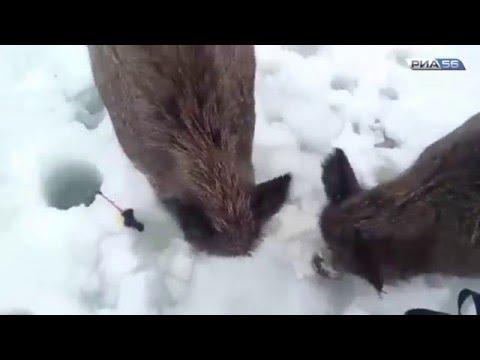 Оренбург. Кабаны вышли к рыбакам на реке Урал