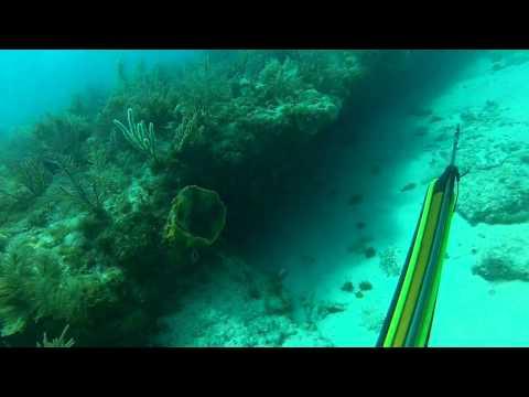 Spear fishing hogfish