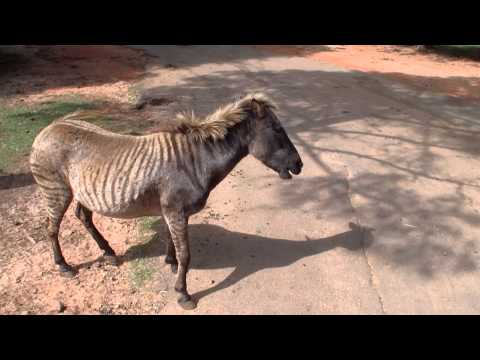 Zebroid At The Wild Animal Safari Park In Pine Mountain Georgia