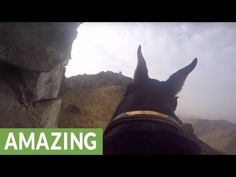 ド―ベルマンにカメラを装着して犬目線で山の頂上へハイキング!?