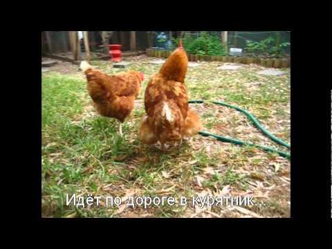 Курица снесла яйцо находу/ chicken laying egg in grass