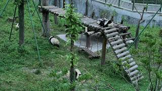 Happiness Village Baby Panda Garden 07-28-2018 01:30:50 - 02:30:51