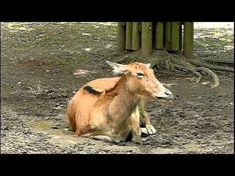 シフゾウ(四不象)。Pere David's Deer.
