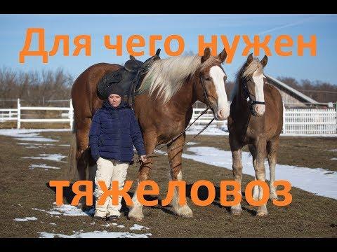 Тяжеловозы. Отличие от верховых лошадей.