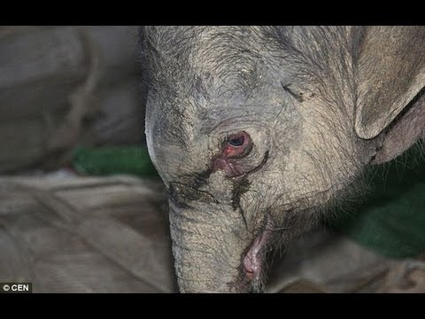 RAW: Baby Elephant Cries For 5 Hours Stomped and Kicked by Mom FULL