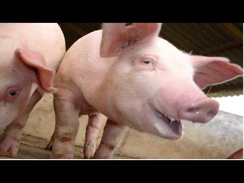 Clique e veja o vídeo Curso Sistema Orgânico de Criação de Suínos - Instalações e Manejo dos Animais