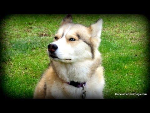 Husky Howling To Celebrate Fan Friday 100 Dogs Howl