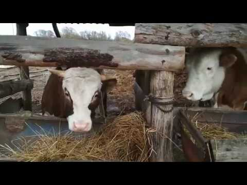Выход мяса у быков.