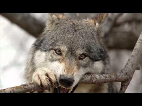 Стих про волков и любовь