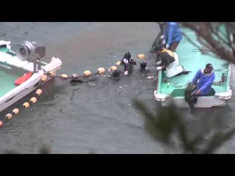 Day 2 / 100+ Dolphins Terrorised Tormented Abused Kidnapped Slaughtered - Taiji Japan