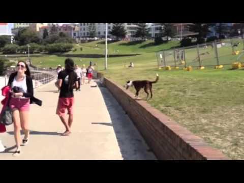 Amazing Dog play football juggling in Bondi Beach (Sydney/Australia)