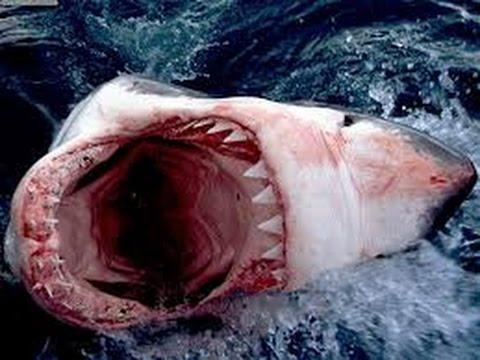 ASOMBROSO Encuentran al tiburón más grande del mundo. Pescan...