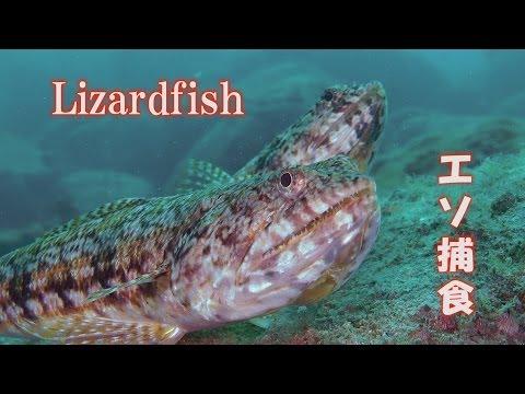 エソ 爬虫類のような魚 Lizardfish Snakefish 獰猛 捕食 水中映像