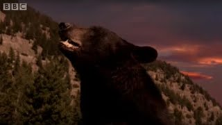Black Bear and Cubs Hibernate | BBC