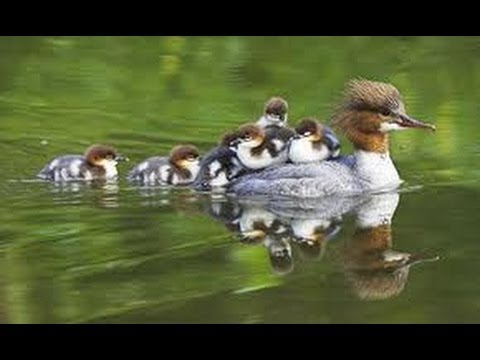 Wildlife - Goosander Ducklings running for cover