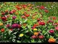 Planting Coleus, Zinnia and other Flowers seeds indoors 2014