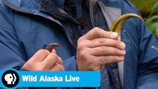 WILD ALASKA LIVE | Bear Claws | PBS