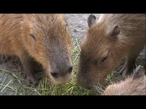カピバラさんのお食事タイム♪ [Capybara]