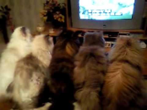 テレビっ子なうちの猫たち...