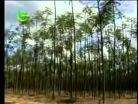 Globo Rural 06/11/11 Entrevista completa a respeito da árvore Paricá