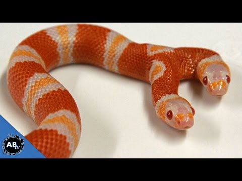 Two Headed Freak Animals! SnakeBytesTV - Ep. 406 : AnimalBytesTV