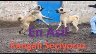 Birbirinden Asil Sivas Kangal Köpekleri (Has Sivas Kangalı)