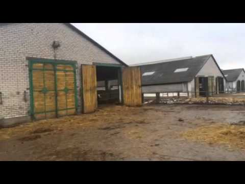 Перегон коров на ферме Молодо (Беларусь)