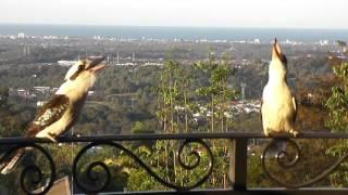 Kookaburra call (Two Laughing Kookaburra Laughing) SO LOUD!